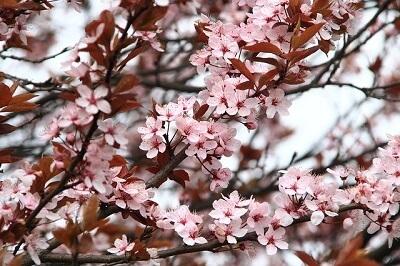 blooming tree in Spring in Oxford